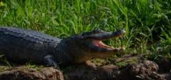 Caiman in Pantanal