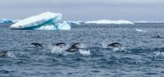 Penguins-at-sea