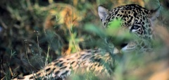 Barra Mansa - jaguar photo