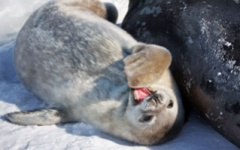 Seal pup playing